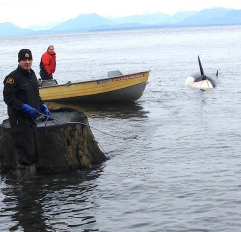 Comox Valley fisheries officer Dale Hunt and Bates Beach Resort co-owner George Bates haul a dead killer whale that was spotted Thursday off Courtenay. Photograph By MICHAEL BRIONES, COMOX VALLEY ECHO