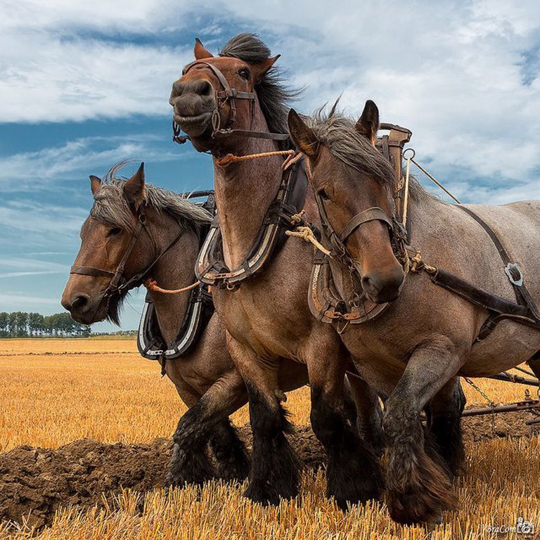 draft horse-pinterest