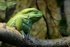 elder monkey-leaf-frog-opoipo