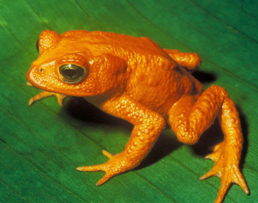 endangered Golden Toad gets noo vote