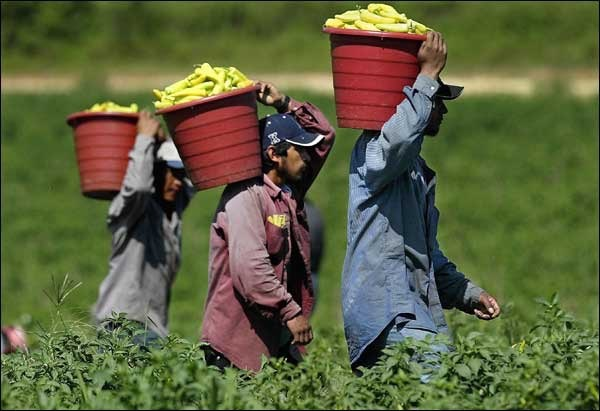 illegal immigrants harvesting America's food