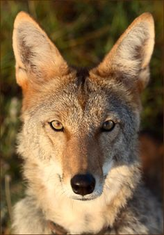 Real wiley coyote