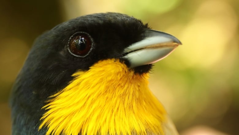 The yellow-throated tanager inhabits high elevations in Peru, where many high-elevation species are declining, a new study has found. (Graham Montgomery:University of Connecticut, Storrs, CT)
