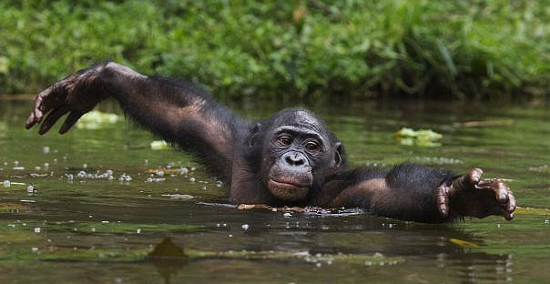 wading ape -Getty